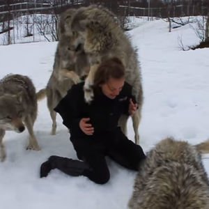 Watch This Pack Of Wolves Rejoice When Their Human Leader Returns From Maternity Leave