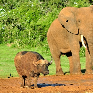 Elephant Confused By Its Identity Joins Up With A Group Of Water Buffalo