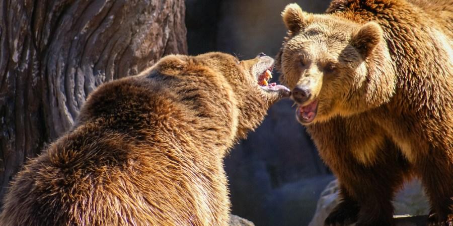 Gay Bear Sex Arouses Scientists' Curiosity
