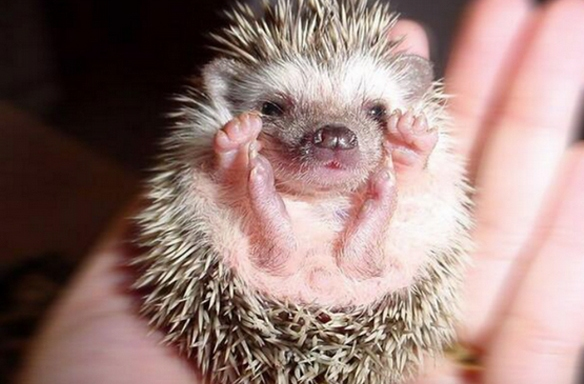 20 Pictures Of Baby Hedgehogs That Will Instantly Brighten YourDay