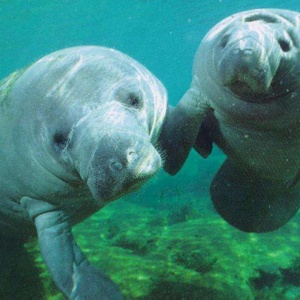 Costa Rica Will Make Manatee National Symbol, Confusing Sloths Everywhere