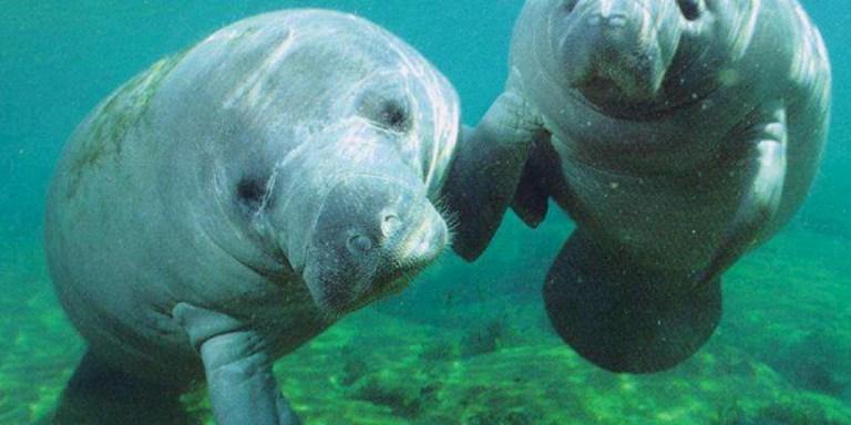 Costa Rica Will Make Manatee National Symbol, Confusing SlothsEverywhere