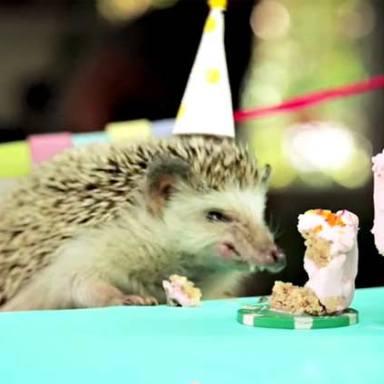 VIDEO: Tiny Hedgehog Birthday Party