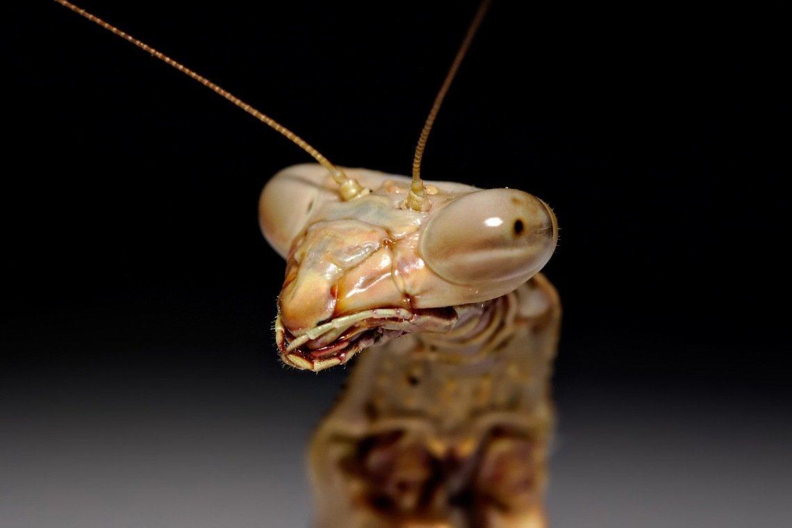 Close-up image of a mantis' face, via Fir0002