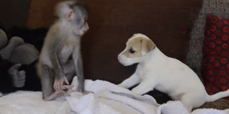 Adorable Video Of Baby Monkey And Puppy BFFs Will Melt YourHeart