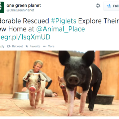 19 Pictures Of Baby Pigs That Will Make You Squeal With Delight