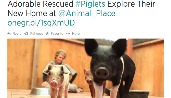 19 Pictures Of Baby Pigs That Will Make You Squeal WithDelight