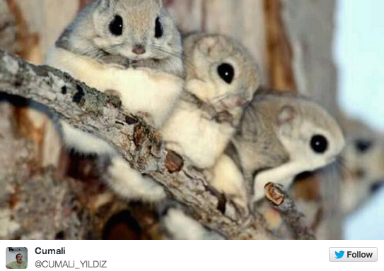 16 Photos Of The Cutest Animal You've Never Seen Before: Japanese Dwarf FlyingSquirrels