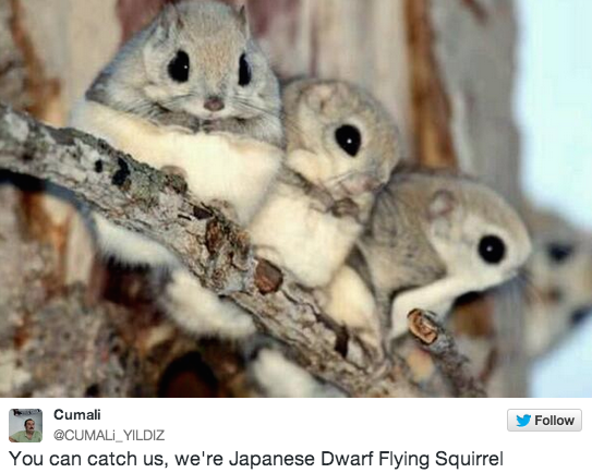 16 Photos Of The Cutest Animal You've Never Seen Before: Japanese Dwarf Flying Squirrels