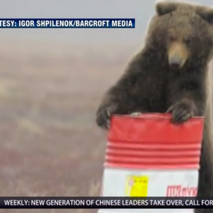 Did You Know Russian Bears Love To Get High On Jet Fuel?