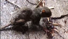 Fatally Wounded Rat Dies At MyFeet