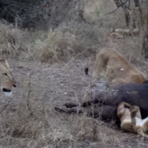 Hungry Lion Cub Gets Stuck In The Asshole Of A Buffalo