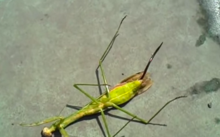 This Insane Parasite Leaving A Praying Mantis' Dead Body Will Haunt Your Dreams