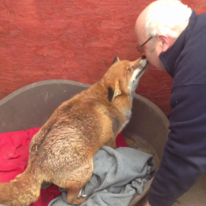 This Rescued Fox Thinks She's A Dog And It's Unbelievable