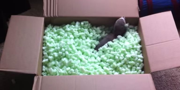 These Ferrets Playing In A Box Of Packing Peanuts Is The Cutest Thing You'll See AllDay