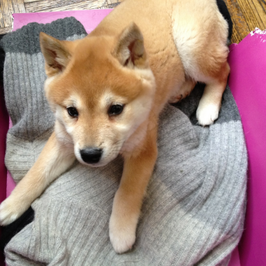 I Think Shiba Inus Have The Cutest Puppies Ever. Here's 13 Photos To Convince You.