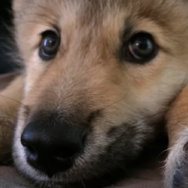 Hi, Please Watch This Wolf Puppy Hiccup And Totally Fall In Love With It