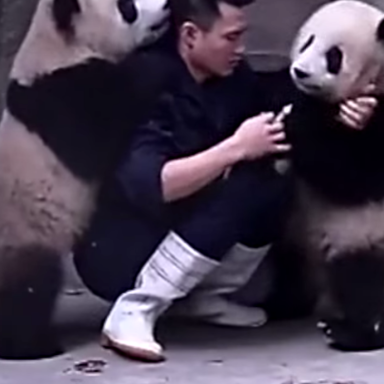 These Cute Panda Bears Don't Want To Take Their Medicine And Decide To Roughhouse With The Zookeeper!