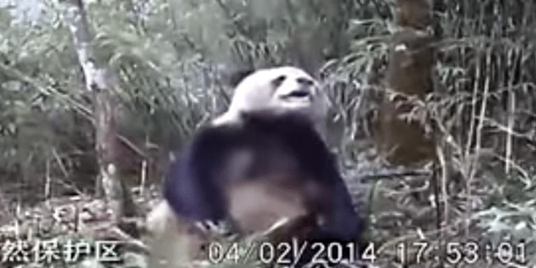 Perverted Scientists Finally Catch A Panda Bear Masturbating OnCamera
