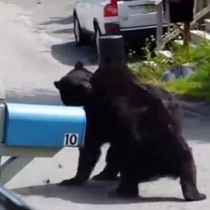 Here Is A Video Of Two New Jersey Bears Fighting Like Animals
