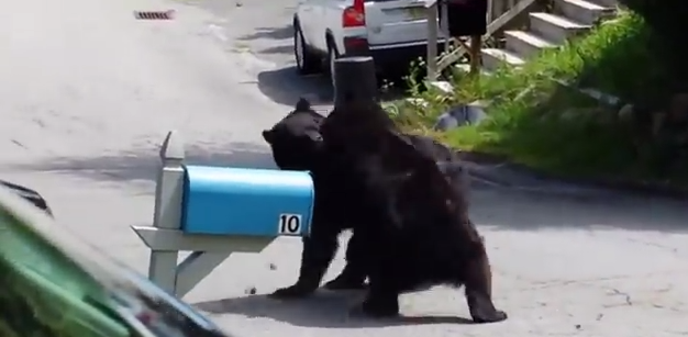 Here Is A Video Of Two New Jersey Bears Fighting LikeAnimals