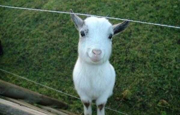 17 Adorable Photos Of Goats That Will Brighten YourDay