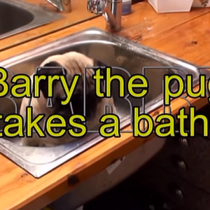 Watch This Little Pug Enjoy The Crap Out Of His Bath
