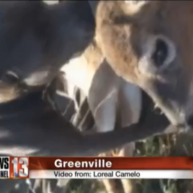 Sweet Angel Pit Bull Comforts Deer In Need With Sloppy Kisses