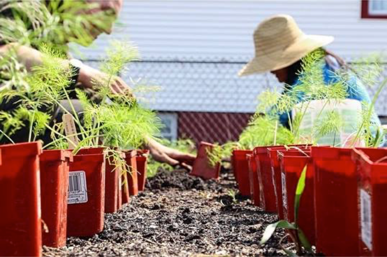 Edgemere Farmers transplanting Fennel (From the Groups Facebook: used with permission from 596 Acres)