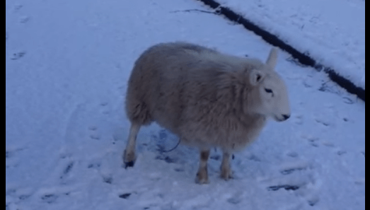Watch: This Silly Lamb Thinks It's ADog!