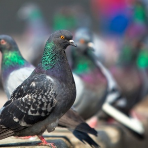 Why Humans Should Think Like Pigeons: A Psychological Experiment