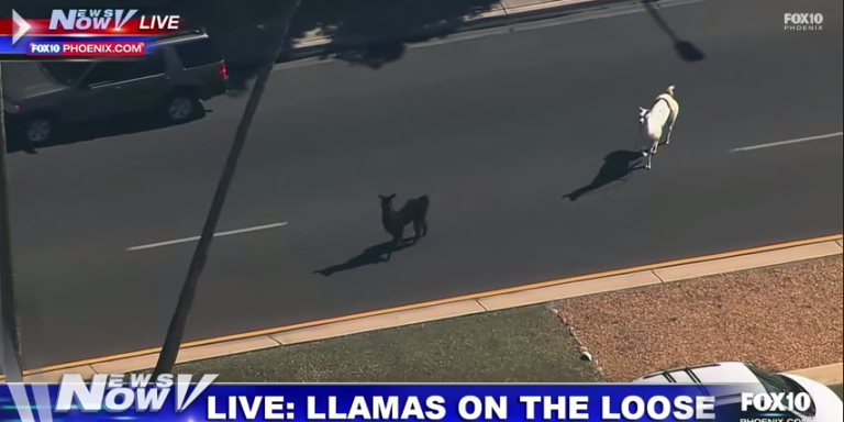 This Arizona Llama Chase Is Everything You Need To Get Your WeekendPopping