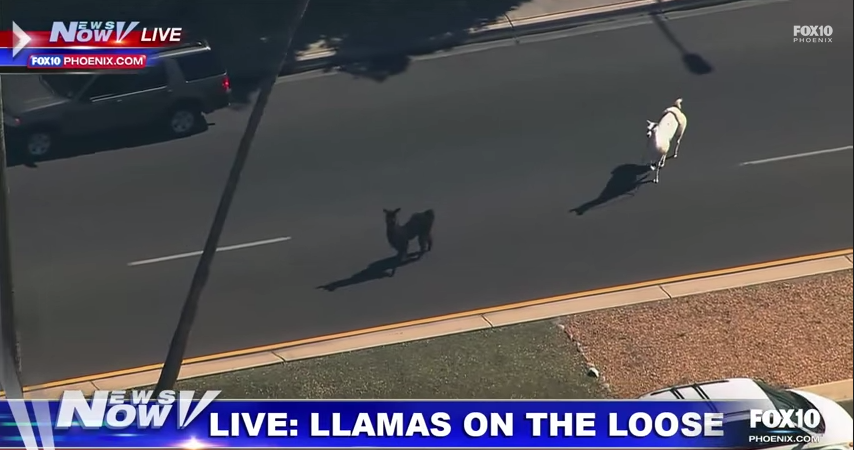 This Arizona Llama Chase Is Everything You Need To Get Your Weekend Popping