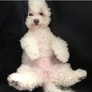 18 Reasons Bichon Frises Are The Worst Indoor Dog Breeds Of All Time