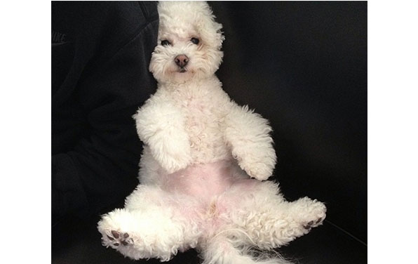 18 Reasons Bichon Frises Are The Worst Indoor Dog Breeds Of AllTime