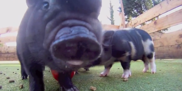 Gather Your Hands And Prepare To 'Aww' Because These Micropiggies Will Make YourDay