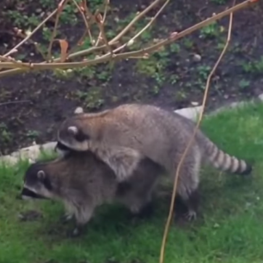 These Two Raccoons Going At It Will Bring An Unexpected Smile To Your Face
