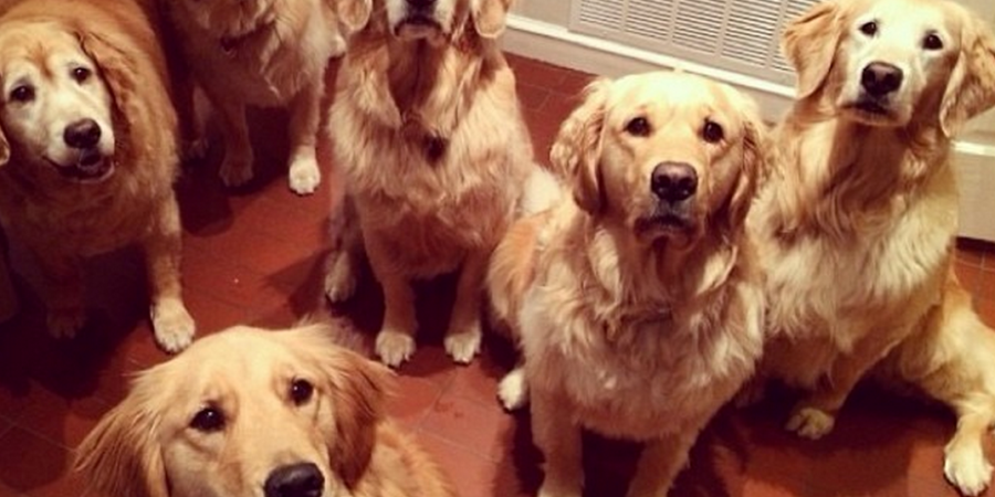 18 Reasons Golden Retrievers Are Not The Friendly Dogs Everyone Says They Are
