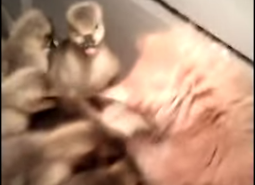 This Little Kitten Made The Biggest Mistake Of Its Life By Jumping Into A Bin Full OfDucklings