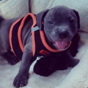 21 Reasons Why You Shouldn't Rescue Pit Bulls