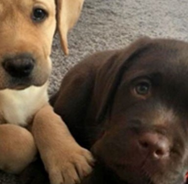 13 Reasons You Absolutely Should Not Own A Labrador