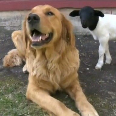 This Is What Happens When A Golden Retriever And A Lamb Become Best Friends