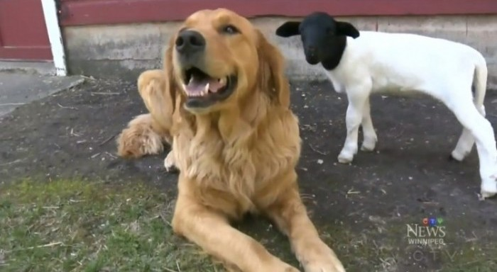This Is What Happens When A Golden Retriever And A Lamb Become BestFriends