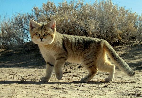 Persian_sand_CAT