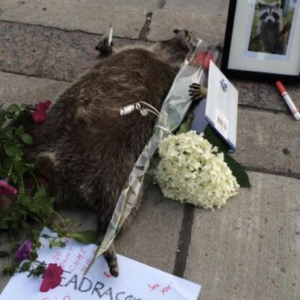 Toronto Honors And Remembers Dead Raccoon In Bizarre Sidewalk Vigil