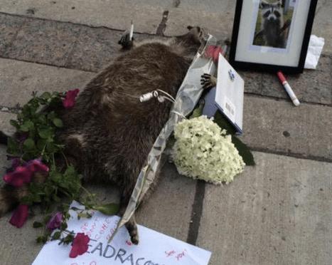 Toronto Honors And Remembers Dead Raccoon In Bizarre SidewalkVigil