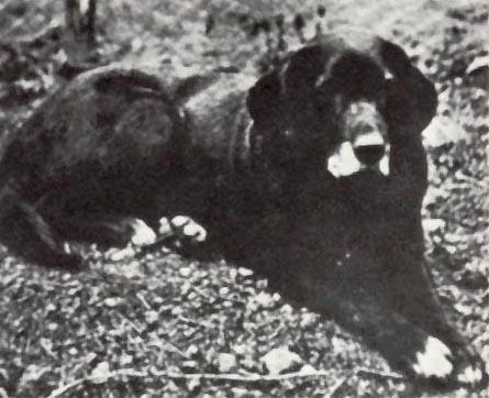 St. John's water dog via wiki commons