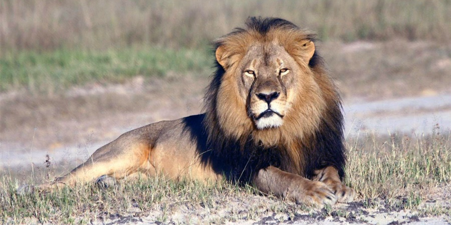 What I, A Zimbabwean, Think Of Cecil The Lion