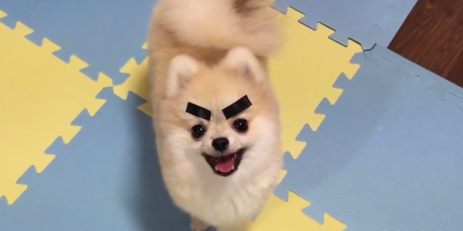 Some Guy Put Dried Seaweed On His Pet Pomeranian And It's The Cutest Thing You'll EverSee
