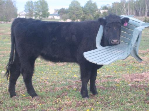 Cow Gets Its Head Stuck In A Chair And The World Responds With The Worst Puns Ever